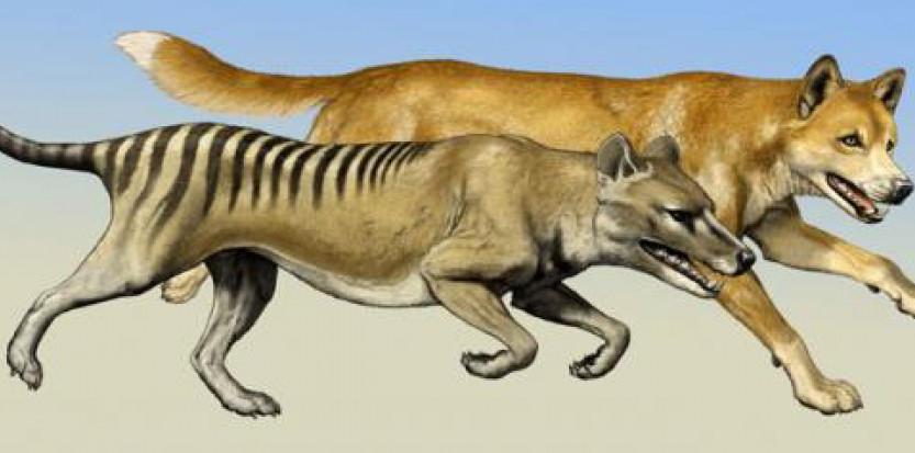 Loup de Tasmanie : est-ce qu'il a vraiment disparu ?